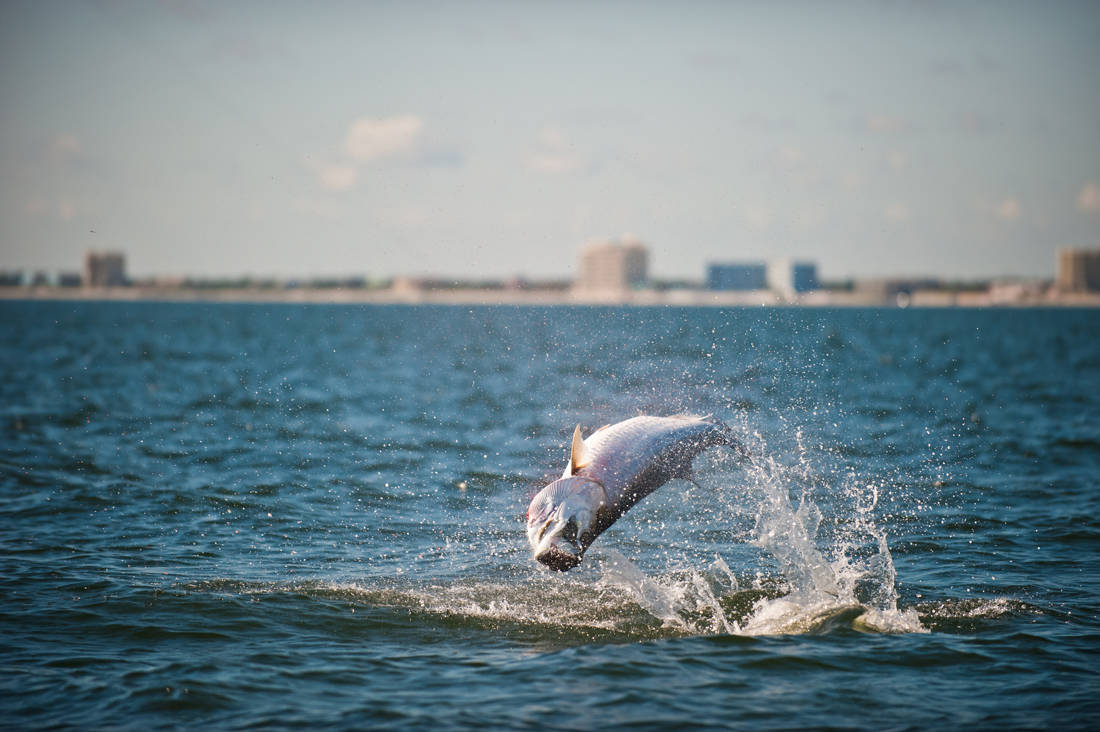 Tarpon fishing species clearwater palm harbor tampa bay for Tarpon fish pictures